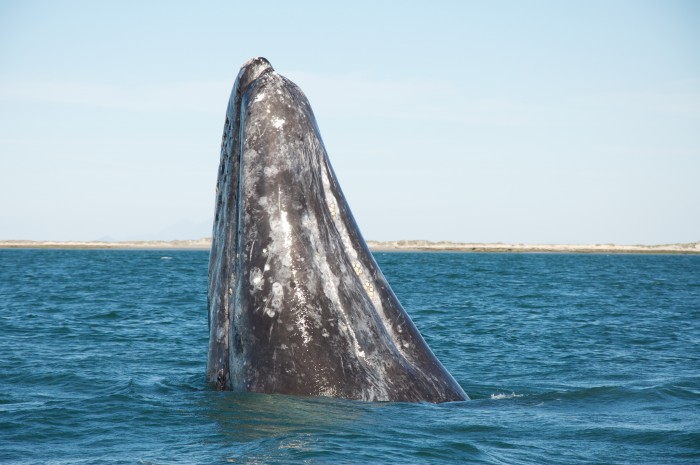 Top Places for Whale Watching in the United States: Spring 2017 Whale Watching