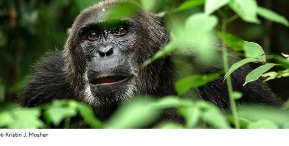 BBCEarth_LP_tile_chimp_wCredit3