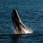 Whale Watching in Santa Barbara: A Guide